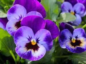 Pansy - related to Heartsease